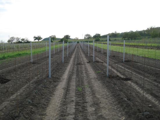 Anlegen eines Weingartens